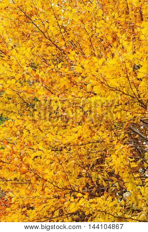 Yellow autumn leaves on branch tree abstract fall background