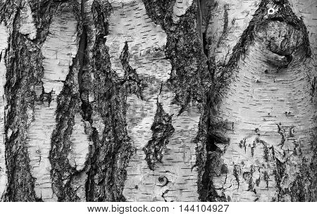 Brown Tree Bark Background In Black And White