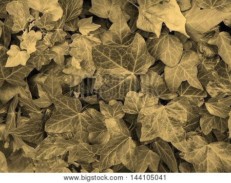 Ivy Background Sepia