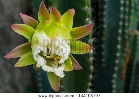 close-up of  white cactus flower  in morning