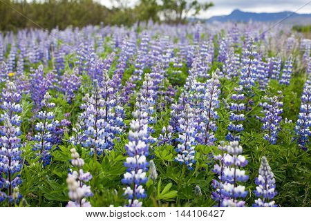 Typical Icelandic landscape with field of blooming lupine flowers in the June.