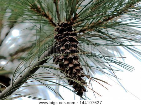 A pine cone seems to sweat in the very high humidity