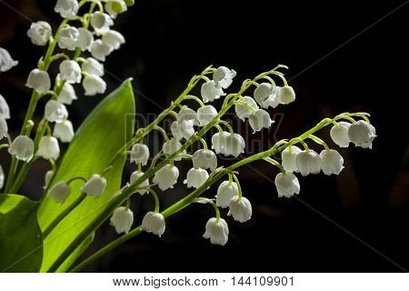 bouquet of white flowers Convallaria majalis on black background