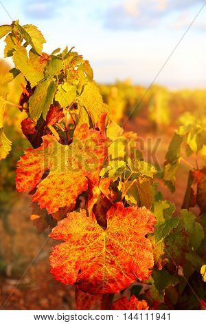 France the Beaujolais region: autumn vineyard at sunset. Focus selective