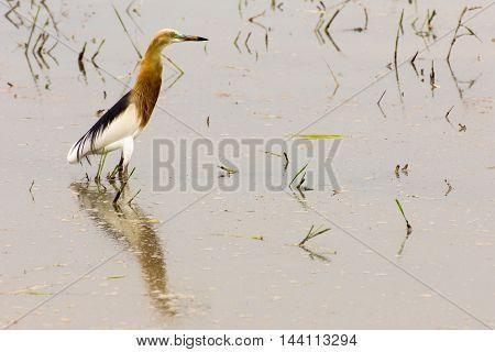 the stunning Javan Pond Heron(Ardeola speciosa) Thailand