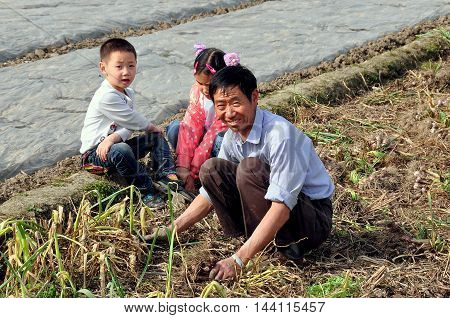 Pengzhou China - April 5 2013: Farmer harvesting garlic bulbs in a field helped by two children