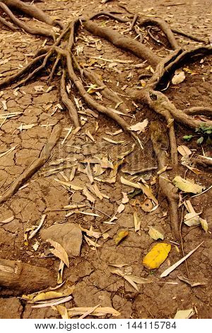 tree roots in dry cracked soil, nature background