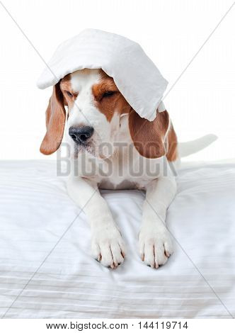Sick Dog On White Background