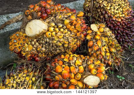close up of fresh palm oil seeds