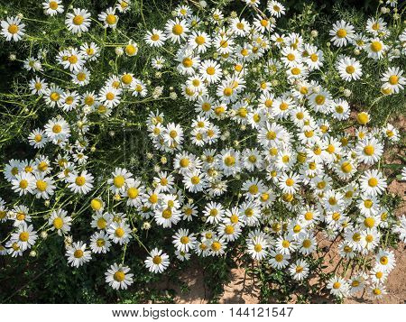 Meadow with many camomile flowers and grass
