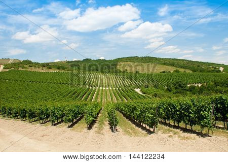 large area of vineyards bright sunny summer day
