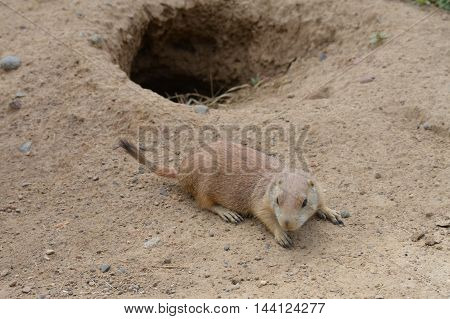 A black-tail prairie dog in the dirt