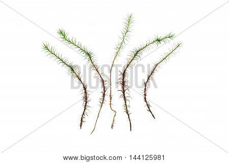 Separate grasses of haircap moss isolated over white background