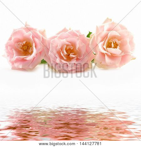 rose with reflection in the water
