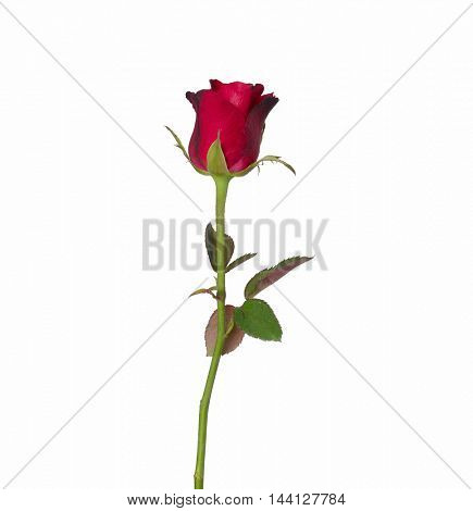 Single beautiful red rose isolated