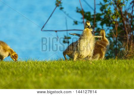 Baby canadian goose stretching his small wings.-1.jpg