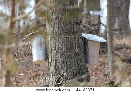 Metal sap bucket attached to a maple tree to catch sap drippings for making maple syrup in early springtime