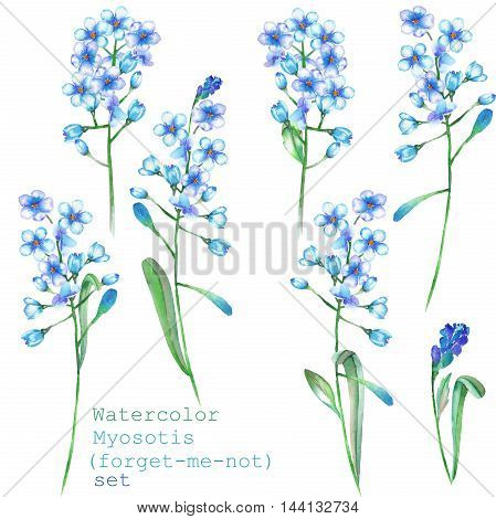 A set with the isolated floral elements in the form of watercolor blue forget-me-not flowers (Myosotis) on a white background for a decoration