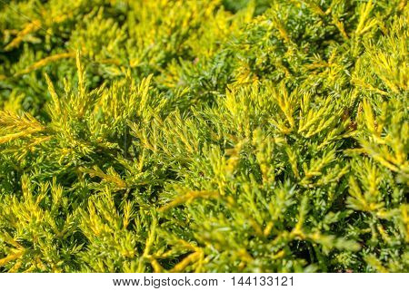 thuja green natural background, a beautiful sunny day, selective focus