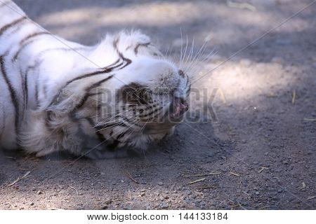 A White Tiger relaxes in the shade