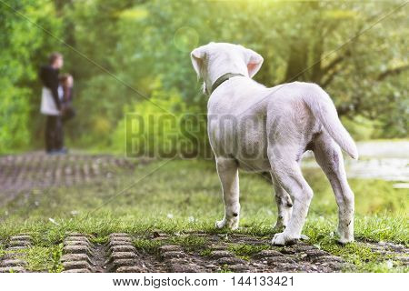 Cute small labrador dog puppy sees human beings