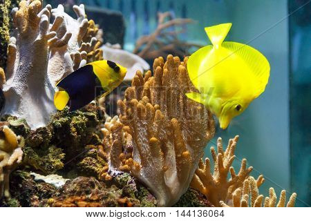 Couple bright fishes zebrasoma and angel swimming in aquarium tank