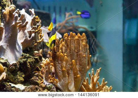 One small colorful pomacanthidae angel fish swimming in aquarium