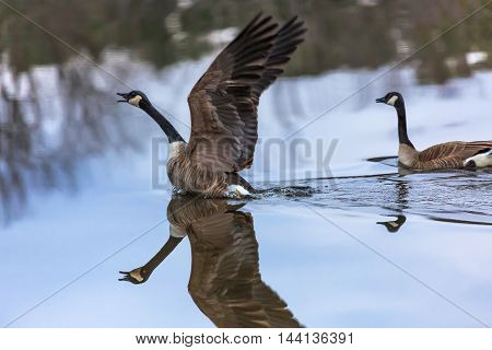 Canadian geese starting to fly out of the water.-1.jpg
