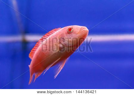 one red aulonocara fish swimming in aquarium tank
