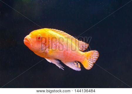 One orange aulonocara fish swimming on black background