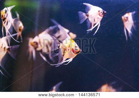 small group of triangle aquarium scalare fishes swimming