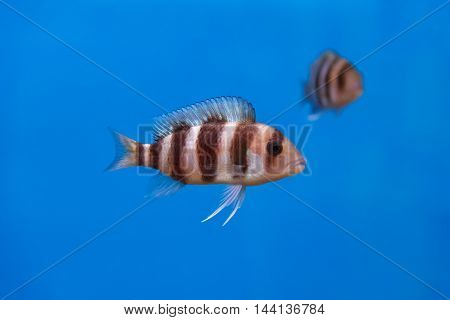 Frontosa fish with black stripes in the water