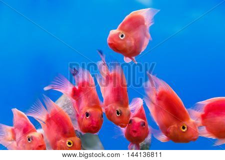 Group of red parrot cichlid fishes on blue background