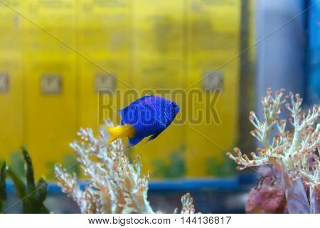 One blue fish chrysiptera parasema with yellow tail swimming in aquarium