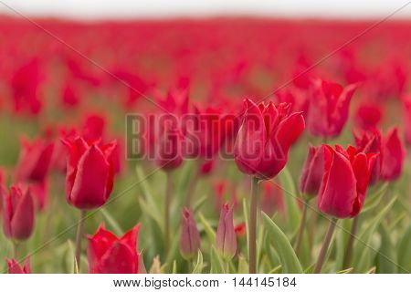 A field of red tulips foreground sharp and behind in a blur as background picture