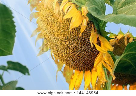 Bright sunflower in sunlight rays harvest ripening agriculture