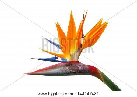Bird of Paradise flower Strelitzia. Isolated on white background