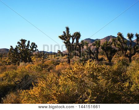 Joshua Tree forest whit yellow flowers in the Mojave Desert (California, USA)