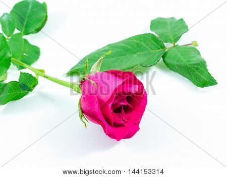 Pink rose with green leaf on white background.