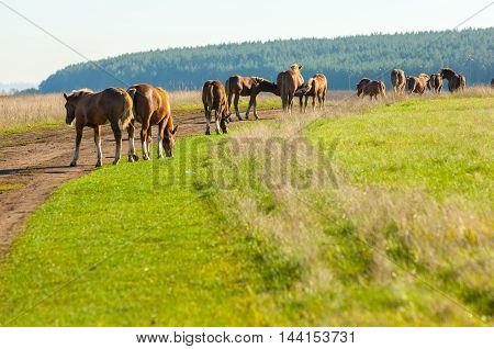 Horses Grazing In The Autumn Field