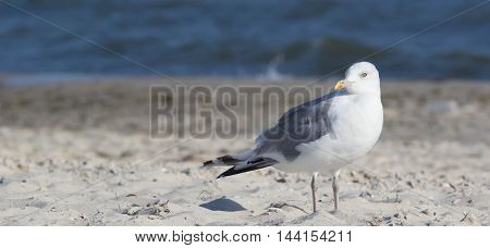 big seagull on the beach. Summer time