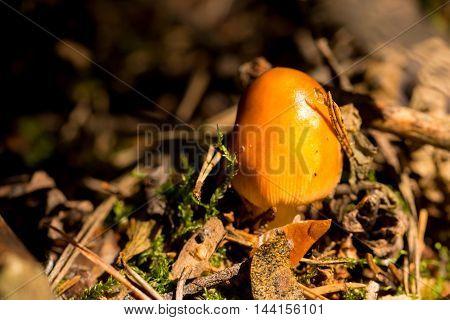 Young Orange Mushroom In Autumn Wood