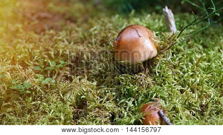 mushrooms with brown hat in moss with ant