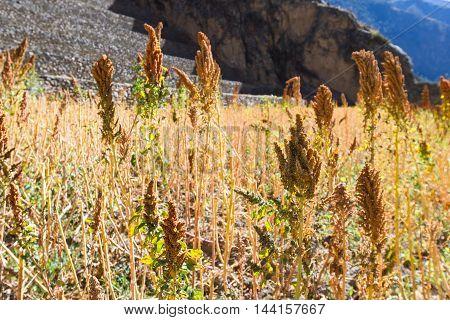 Peruvian Quinoa Crop