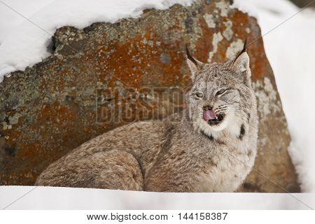 Lynx Is Looking Back Side.