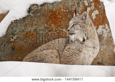 Lynx Is Looking Curiously Behind Of The Rock