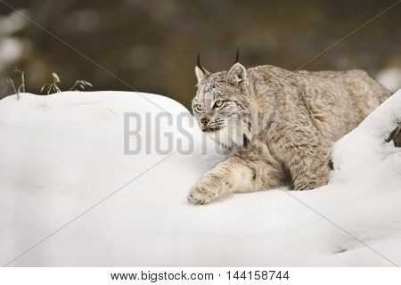 Lynx Is Looking Around For Hunting.