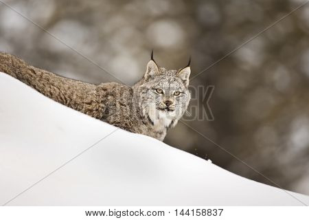Lynx Is Walking Down The Hill And Looking Towards Attentively.