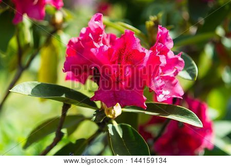 Closeup of Beautiful Pink Azaleas in Springtime