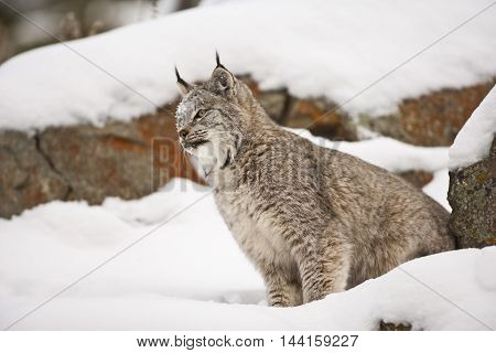 Side View Of Lynx.